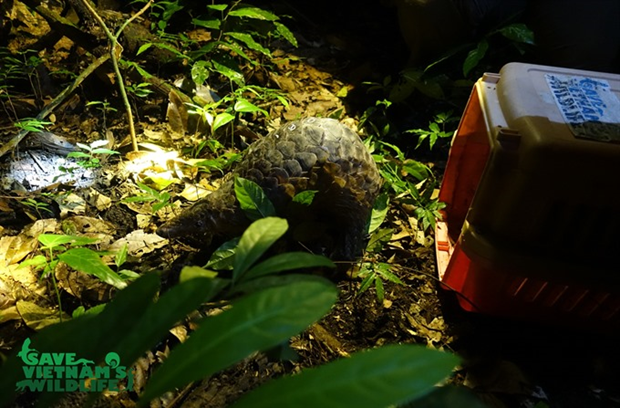Endangered pangolins released into nature hinh anh 1