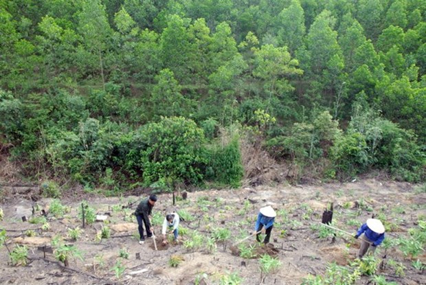 Quang Tri to have over 42,000ha of forest by 2020 hinh anh 1