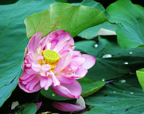 Lotus flower shows tranquil charm in summer heat hinh anh 1