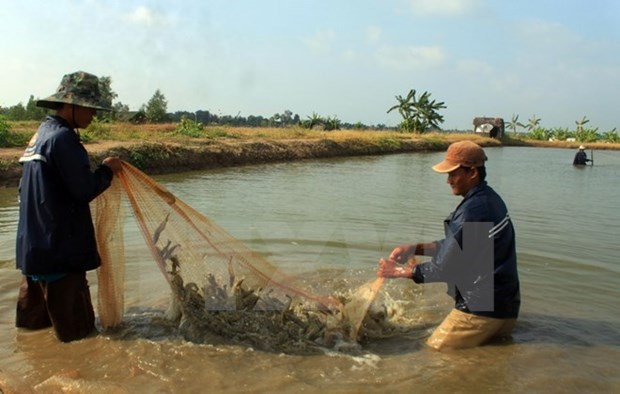 Mekong Delta records over 12,000ha of damaged crustacean farms in H1 hinh anh 1