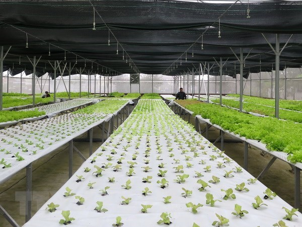 Numerous hi-tech agriculture enterprises licensed: ministry hinh anh 1