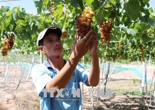 Ninh Thuan to grow more new, high-quality grape hinh anh 1