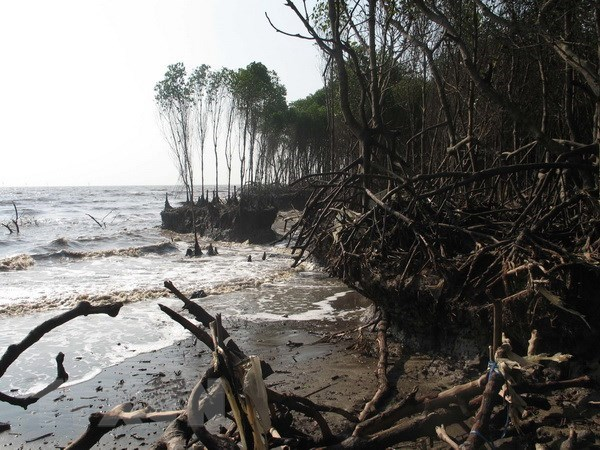 Tien Giang loses protective forests to sea hinh anh 1
