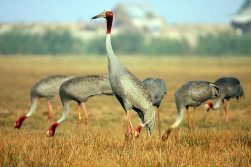 Only 11 sarus cranes spotted at Tram Chim National Park hinh anh 1