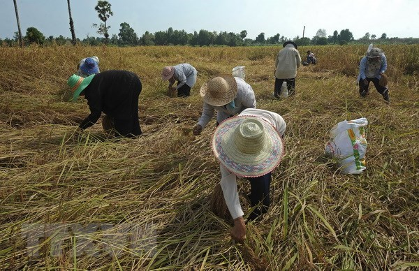 Thailand spends nearly 3 billion USD supporting rice sector hinh anh 1