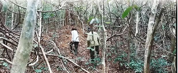 Endangered gaurs losing habitat in national park hinh anh 1