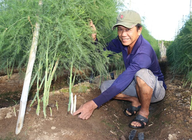 Green asparagus offers high profits for Ninh Thuan farmers hinh anh 1