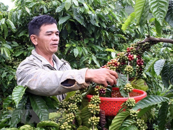 Vietnam seeks to increase value of coffee products hinh anh 1