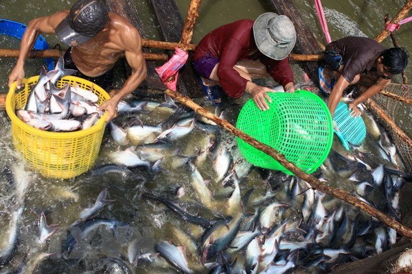 Prices of tra fish continue to drop in July hinh anh 1