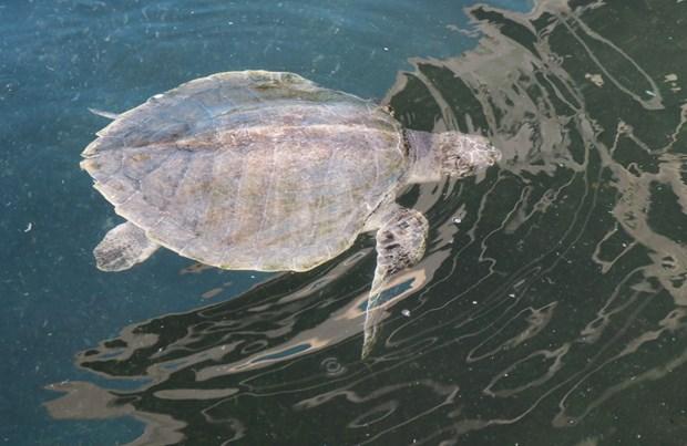 Ninh Thuan works to protect sea turtles hinh anh 2