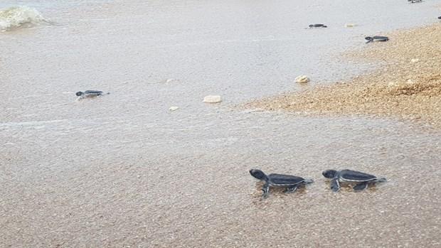 Ninh Thuan works to protect sea turtles hinh anh 3