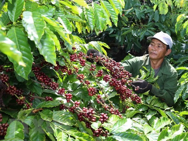 Building brand name for Vietnam's coffee hinh anh 1