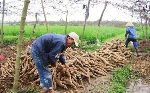 Vietnam exports less, but earns more from cassava hinh anh 1
