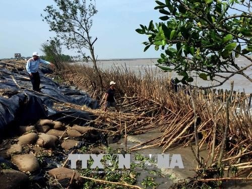 Ca Mau speeds up construction of breakwater on erosion threat hinh anh 1