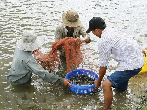 Ben Tre: Shrimp to become spearhead of production industry hinh anh 1