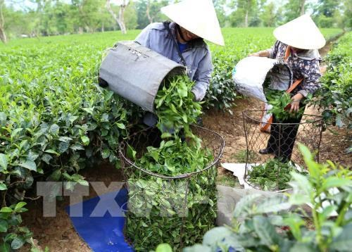 Vietnam's tea exports fall in both volume and revenue hinh anh 1