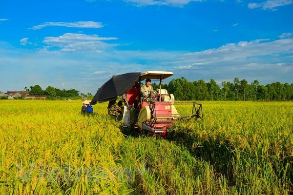 Rice production drops slightly in summer-autumn crop hinh anh 1
