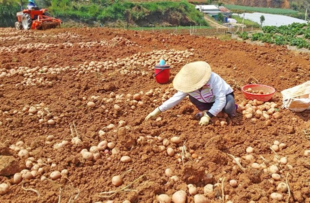 Sales of non-local farm produce banned at Da Lat market hinh anh 1