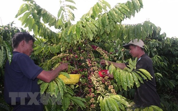 Gia Lai province replaces old coffee trees with new ones hinh anh 1