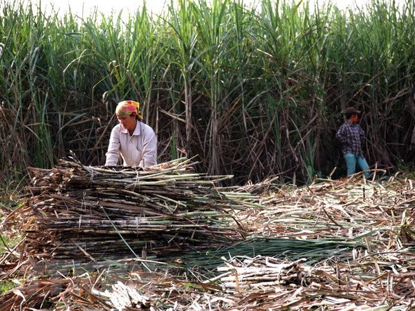 Sugarcane faces plummeting prices hinh anh 1