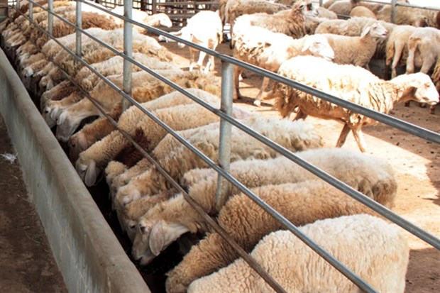Ninh Thuan to breed more sheep, goats for sale hinh anh 1