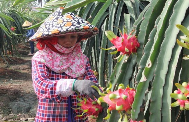 VN's fruits need to gain domestic market before exporting: experts hinh anh 1