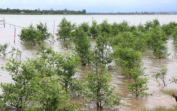Quang Tri develops mangrove forests hinh anh 1