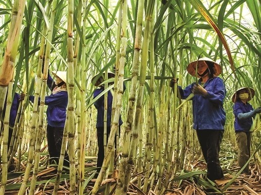Vietnamese sugar mills struggle to compete hinh anh 1
