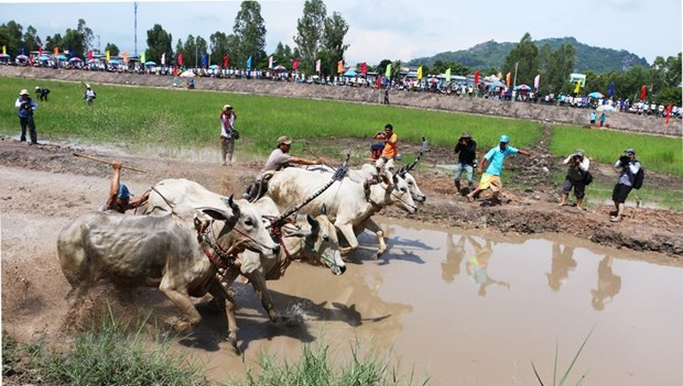 Ox racing festival in An Giang kicks off hinh anh 1