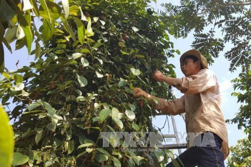 Pepper in many Dong Nai areas reaches organic standards hinh anh 1