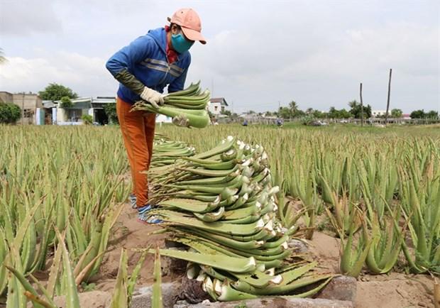 Ninh Thuan farmers strike it rich with aloe vera hinh anh 1