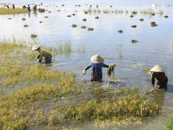 Mekong Delta floods inundate over 2,000ha of rice hinh anh 1