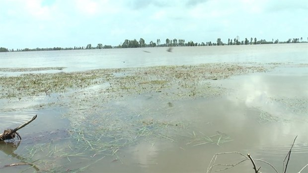 Floods damage 2,000ha of rice in Mekong Delta hinh anh 1