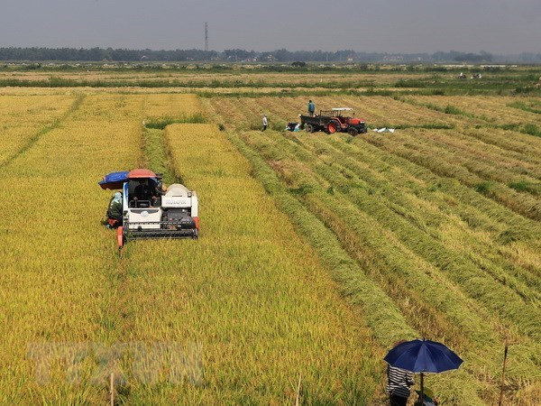 Northern localities work hard to improve rice productivity hinh anh 1