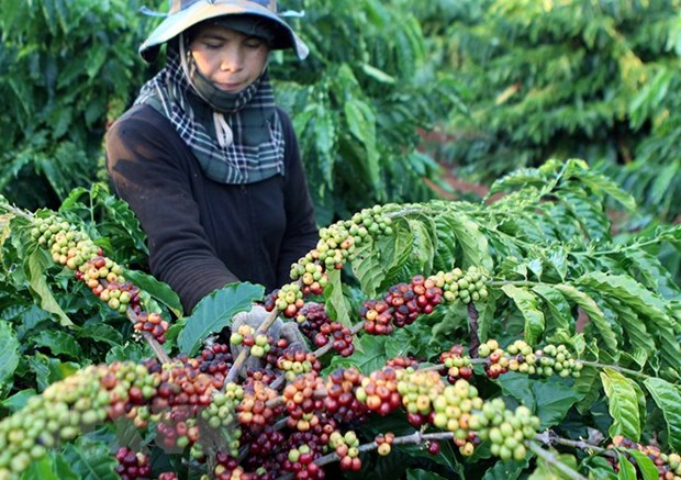 Vietnam's coffee exports jump to record high of 1.8 million tonnes hinh anh 1
