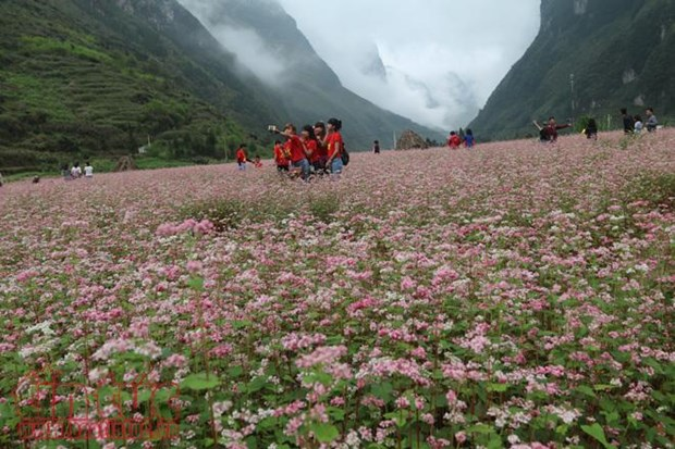 Buckwheat flower festival in Ha Giang promises diverse activities hinh anh 1
