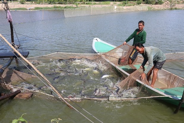 Dong Thap catfish farms near annual target hinh anh 1