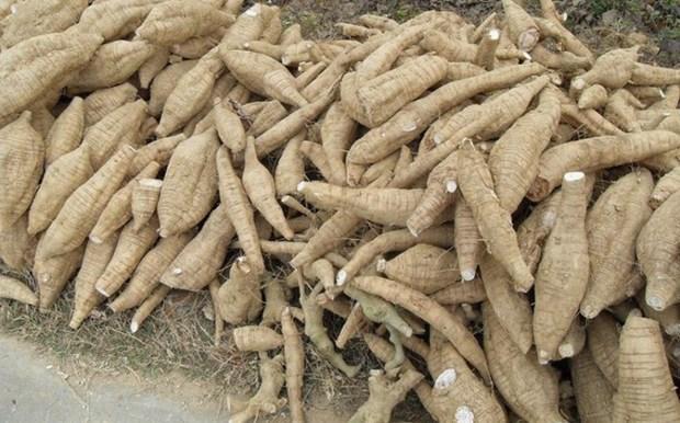 Cassava exports to RoK sharply rise hinh anh 1