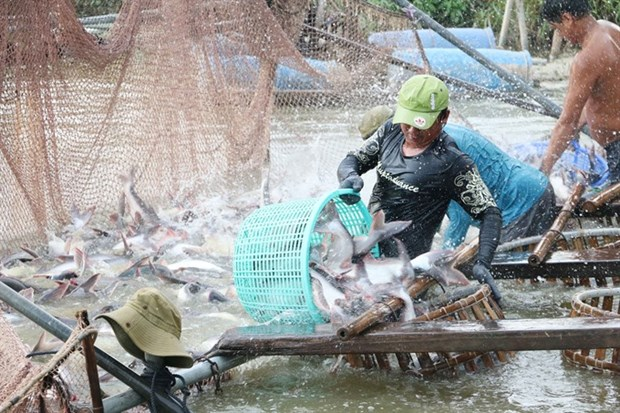 Mekong Delta uses high-tech methods to raise tra fish hinh anh 1