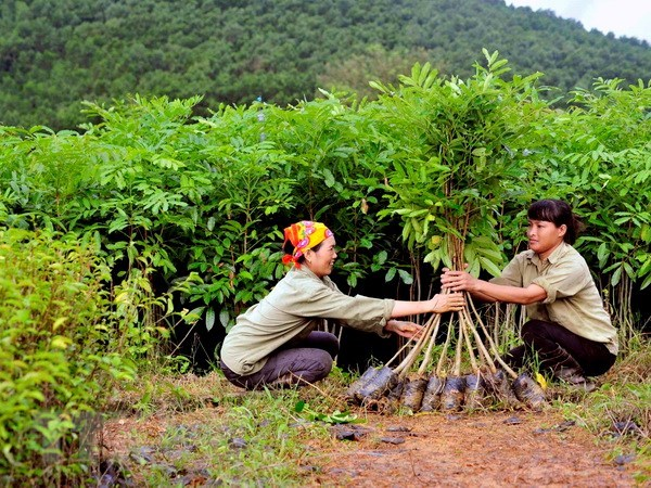 Quang Tri plants over 7,200 ha of concentrated forest hinh anh 1