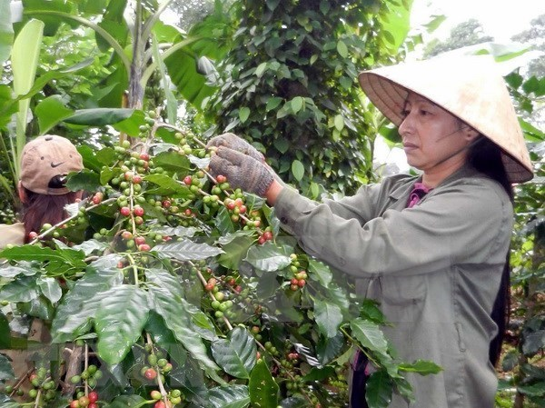 Vietnam expects to export 1.7 mln tonnes of coffee this year hinh anh 1