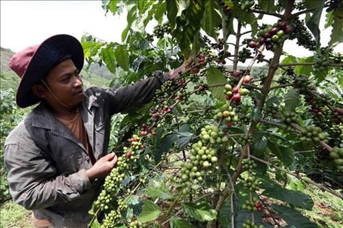 Dak Nong to host Vietnam Coffee Day in December hinh anh 1