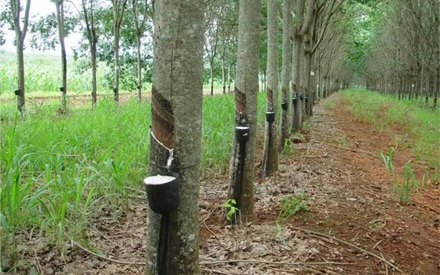 Thailand approves subsidy scheme for rubber farmers hinh anh 1