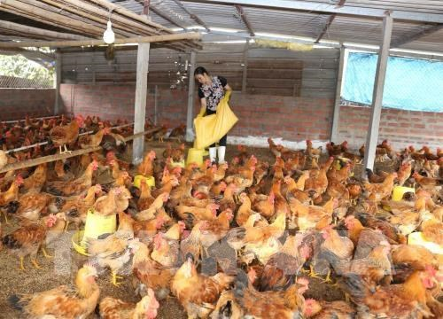CPTPP: challenges and opportunities for Vietnam's livestock sector hinh anh 1