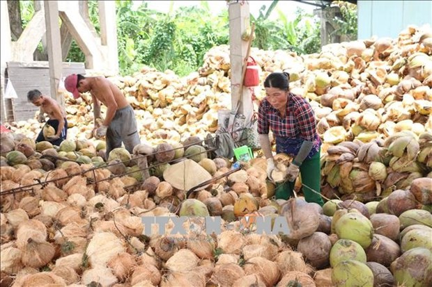 Delta provinces help farmers improve coconut value hinh anh 1
