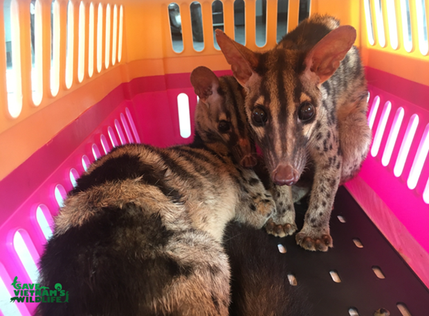 Two rare palm civets saved from illegal online trade hinh anh 1