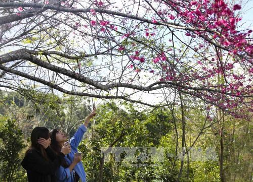Cherry blossom festival to return to Pa Khoang, Dien Bien hinh anh 1