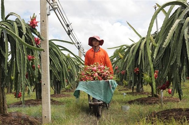 Binh Thuan: Over 30 percent of dragonfruit land under VietGap hinh anh 1