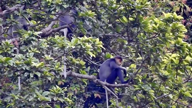Seminar spotlights conservation of rare langur in Quang Nam hinh anh 1