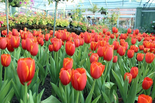 Chiang Mai's tulips in full bloom during New Year holiday hinh anh 1
